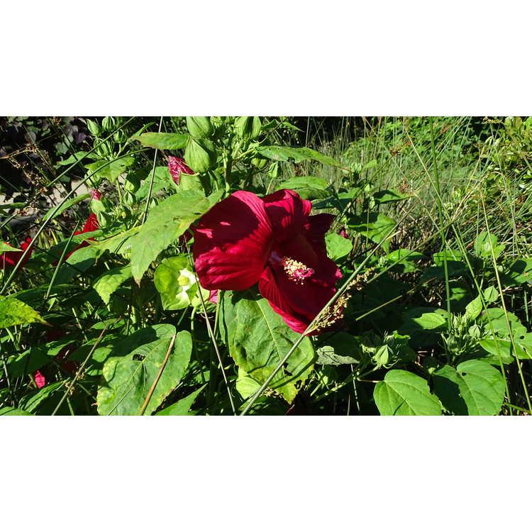 Hibiscus moscheutos 'Balhibred' - Luna Red dwarf swamp rose-mallow