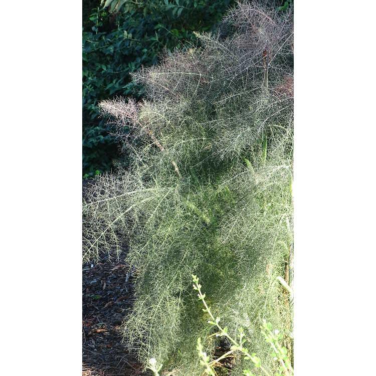 Foeniculum vulgare 'Rubrum' - bronze fennel