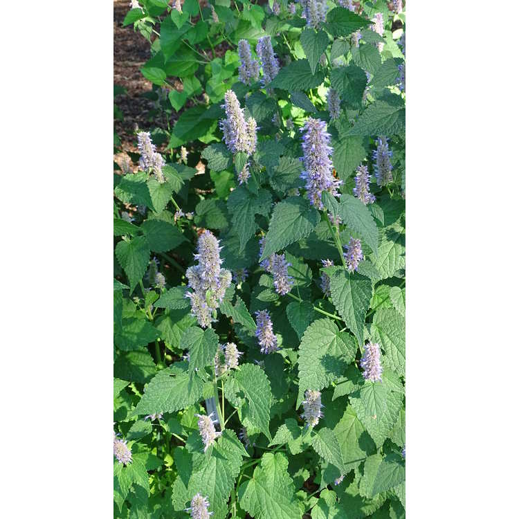 Agastache scrophulariifolia Blue Licorice
