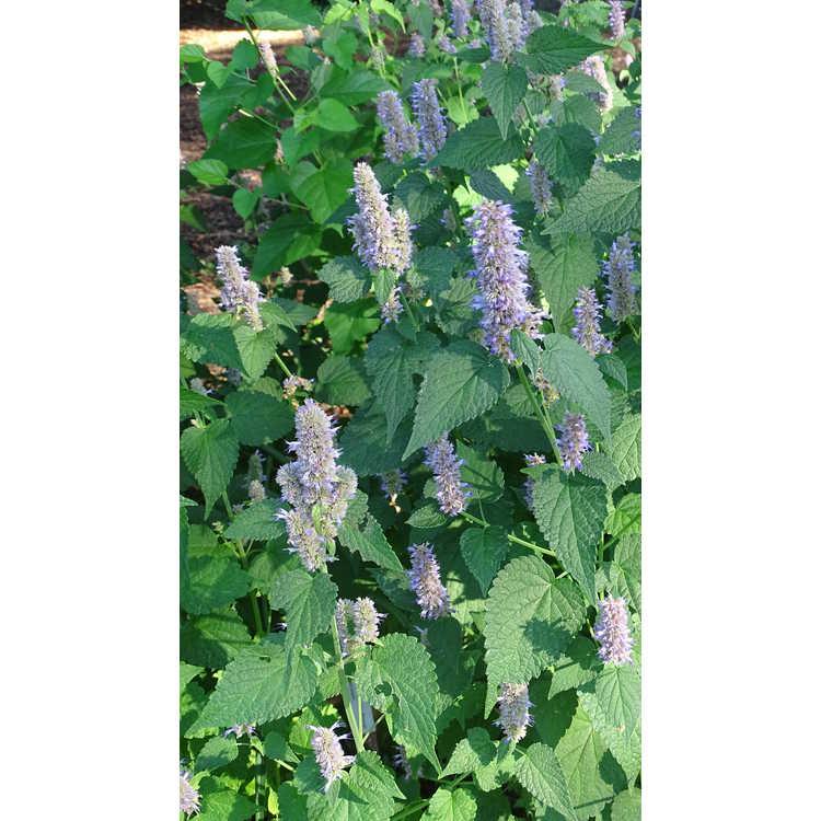 Agastache scrophulariifolia 'Blue Licorice'