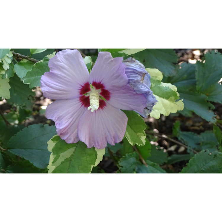 Hibiscus syriacus 'Meehanii' - variegated rose-of-Sharon
