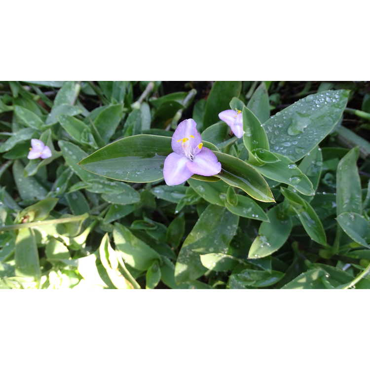 Tradescantia pallida - purple heart