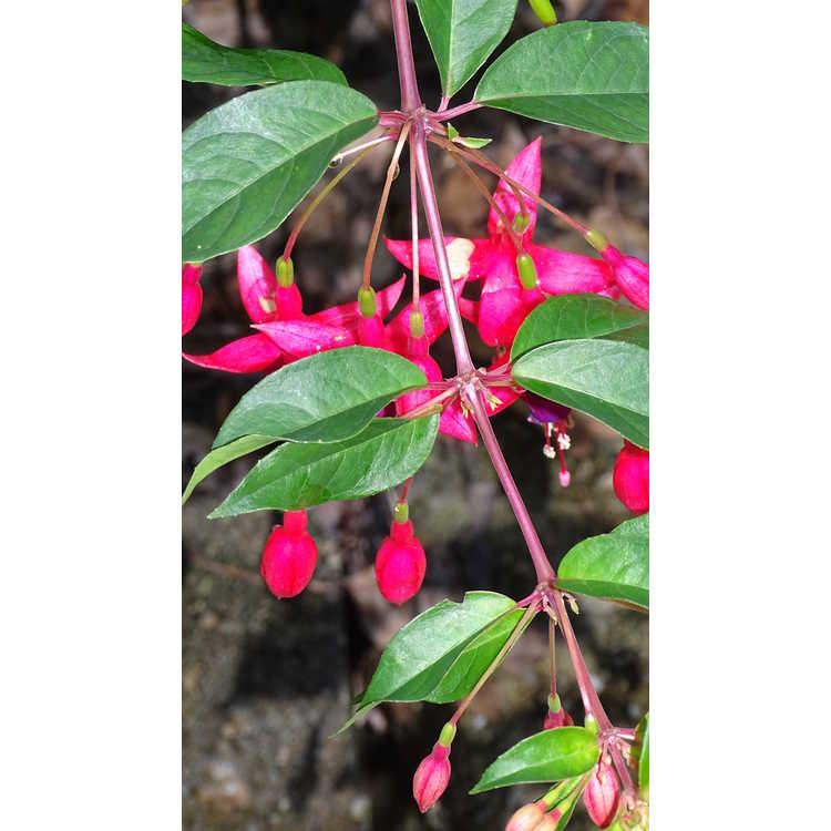 Fuchsia 'Sanihanf'