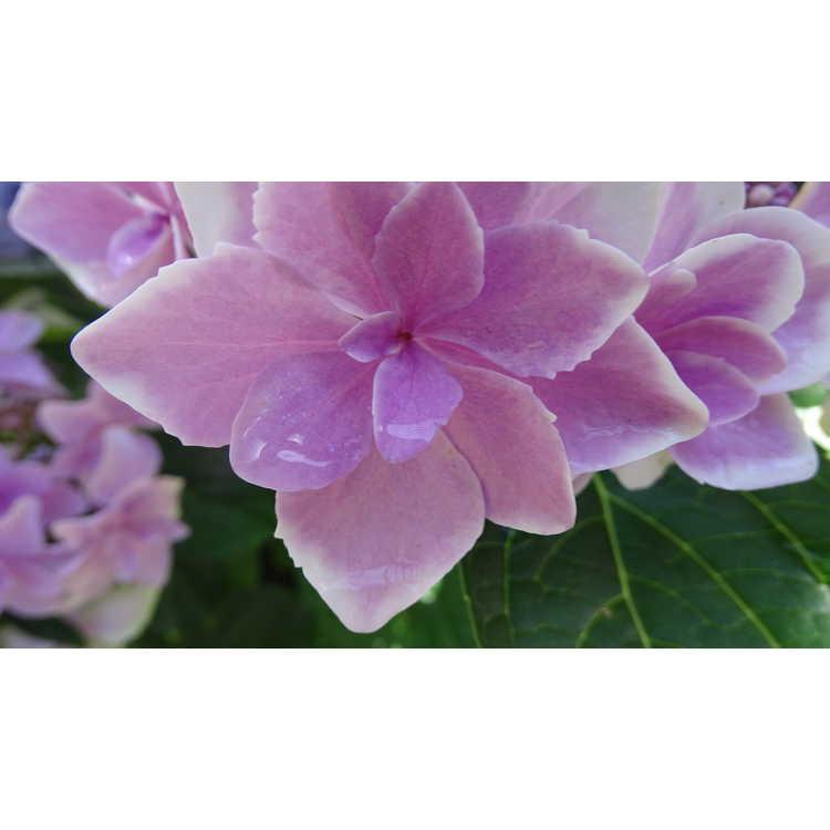Hydrangea macrophylla 'Kompeito' - Double Delights Star Gazer bigleaf hydrangea