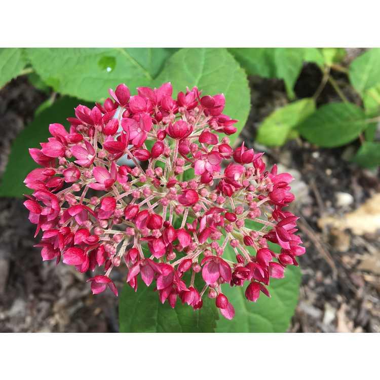 Hydrangea arborescens 'Ncha3' - Invincibelle Ruby smooth hydrangea