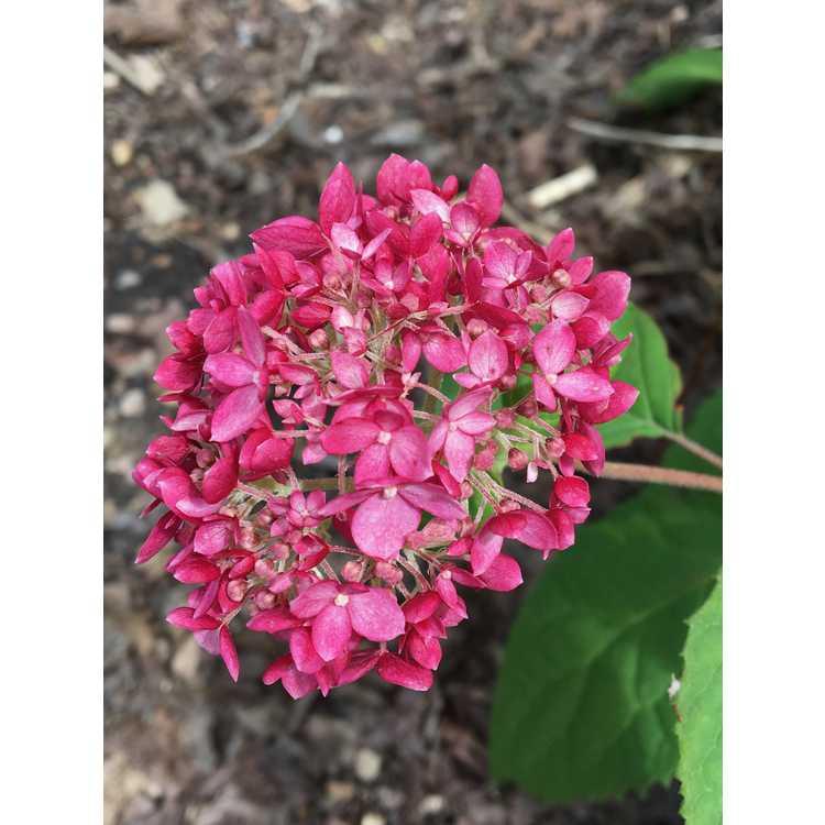 Hydrangea arborescens Ncha3 Invincibelle Ruby
