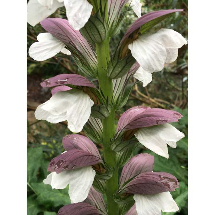 Acanthus 'Morning Candle' - hybrid acanthus