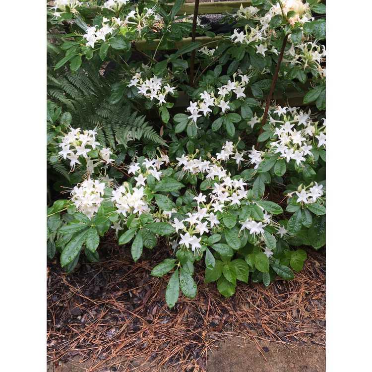 Rhododendron June Jubilee