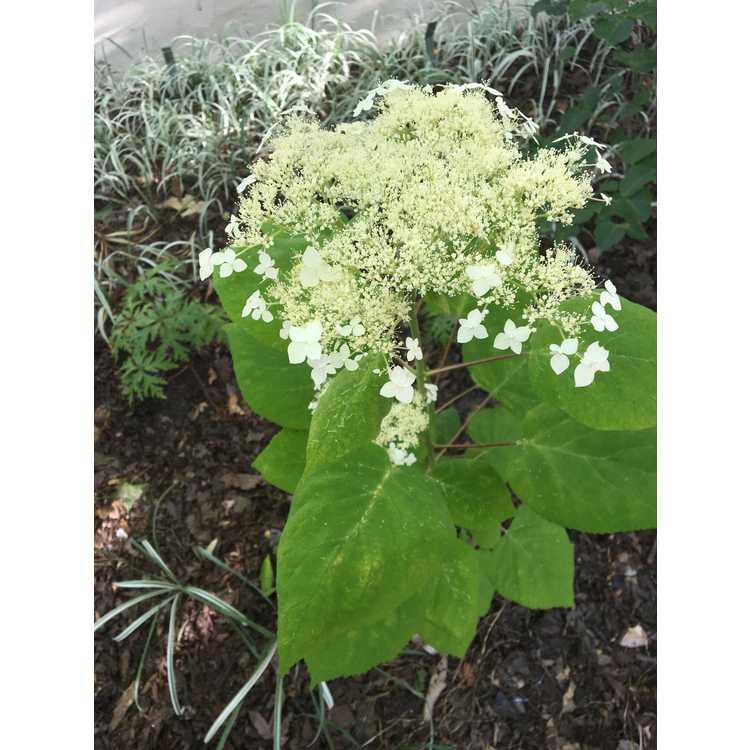 Hydrangea arborescens 'Mary Nell'