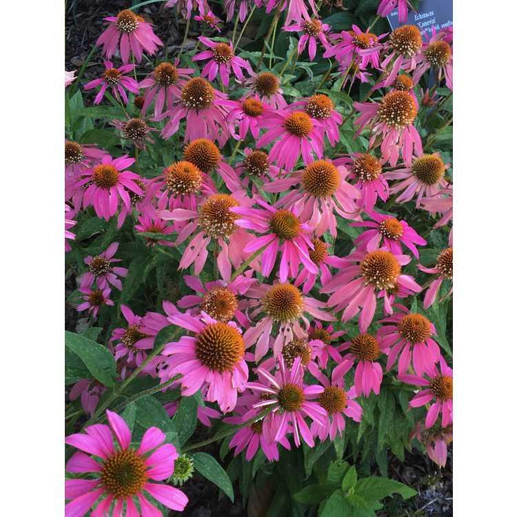 Echinacea Conekim Panther Pink