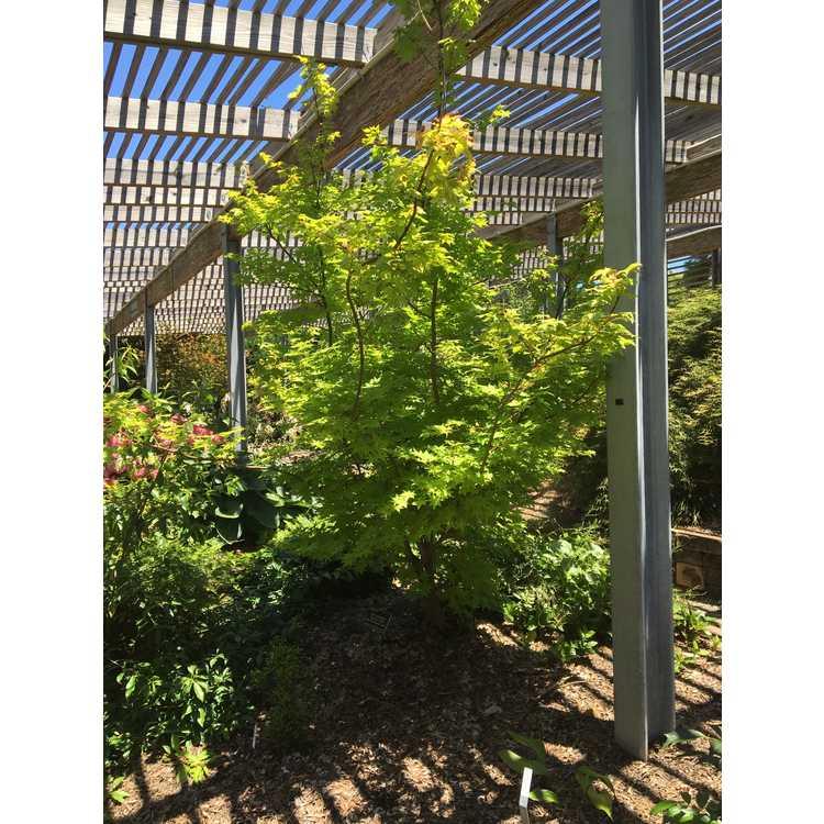 Acer palmatum 'Summer Gold' - gold-leaf Japanese maple