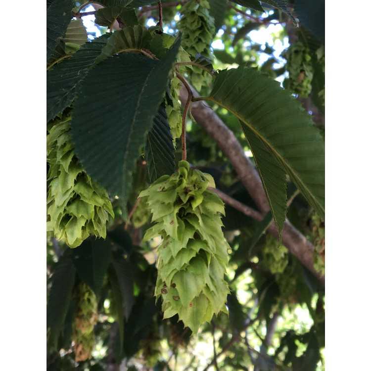Carpinus japonica - Japanese hornbeam
