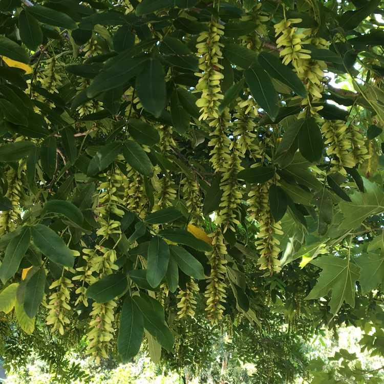 Pterocarya rhoifolia - Japanese wingnut