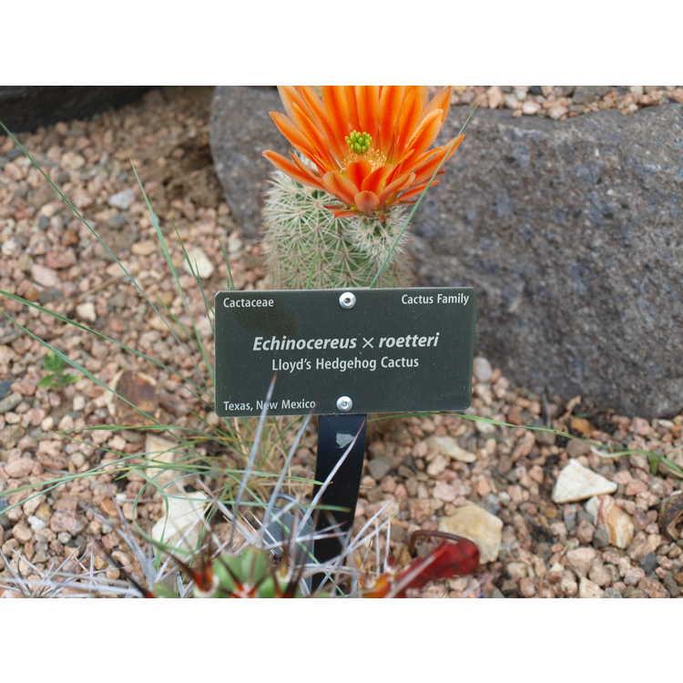 Echinocereus ×roetteri