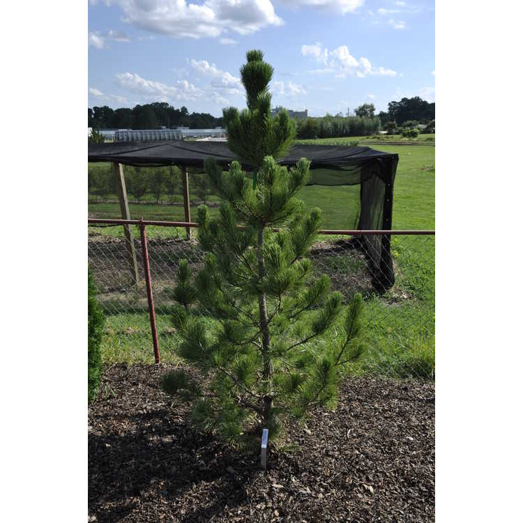 Pinus cembra 'Algonquin Pillar'