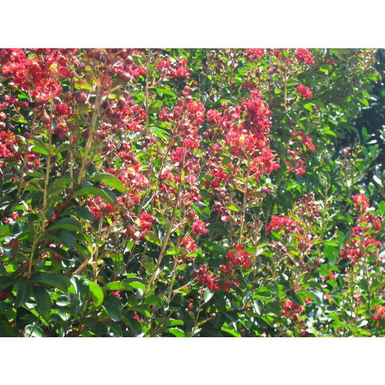 Lagerstroemia 'Cedar Lane Red' - hybrid crepe myrtle