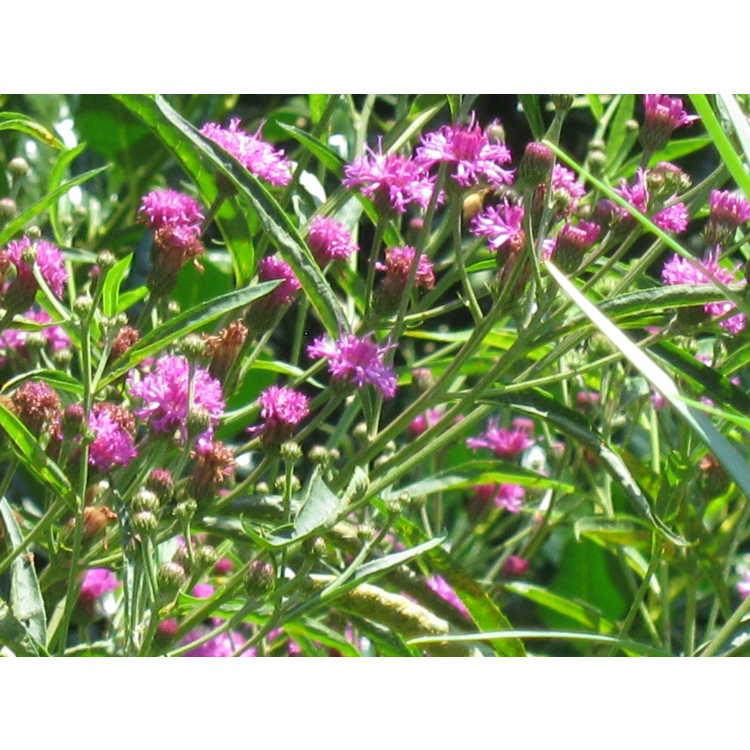 Vernonia arkansana - Arkansas ironweed
