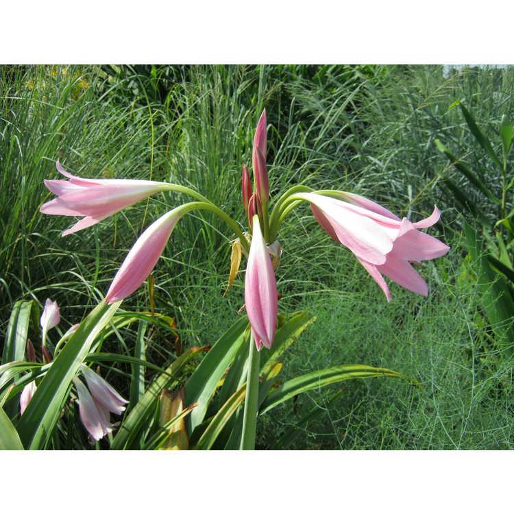Crinum 'Pink Trumpet'
