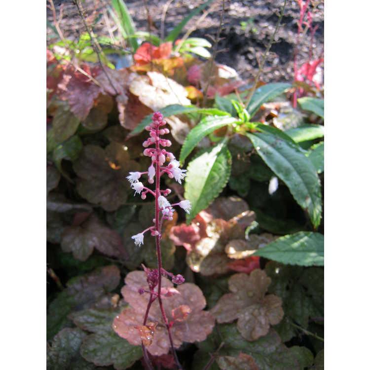 Heucherella Redstone Falls