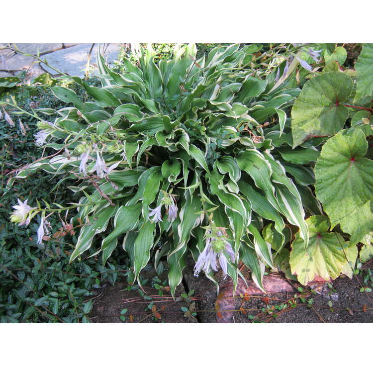 Hosta 'Electrocution'
