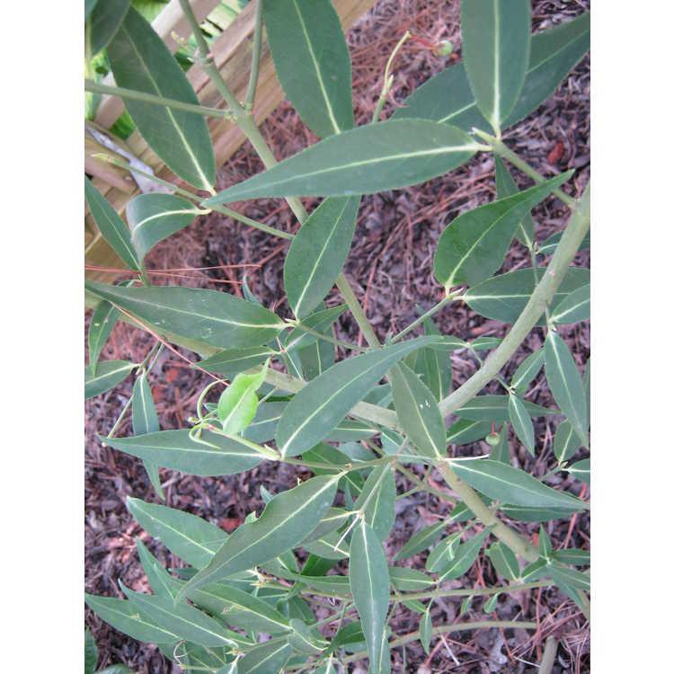 Euonymus lanceolatus