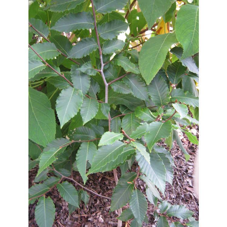 Fagus grandifolia (Bill Barnes dwarf)