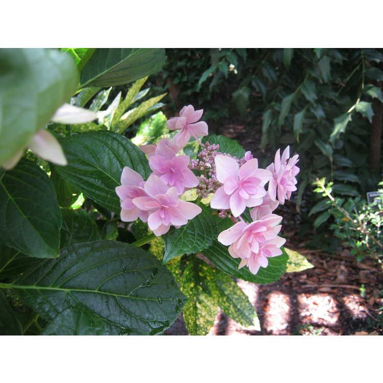 Hydrangea macrophylla Kompeito Double Delights Star Gazer