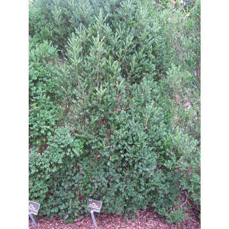 Buxus 'Green Mound'