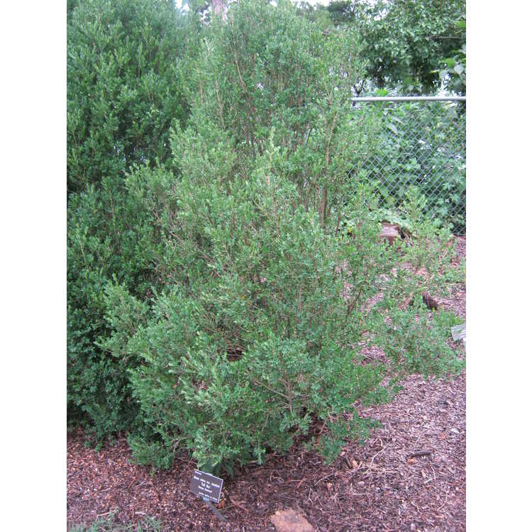 Buxus sinica var. insularis 'Tall Boy' - Korean boxwood