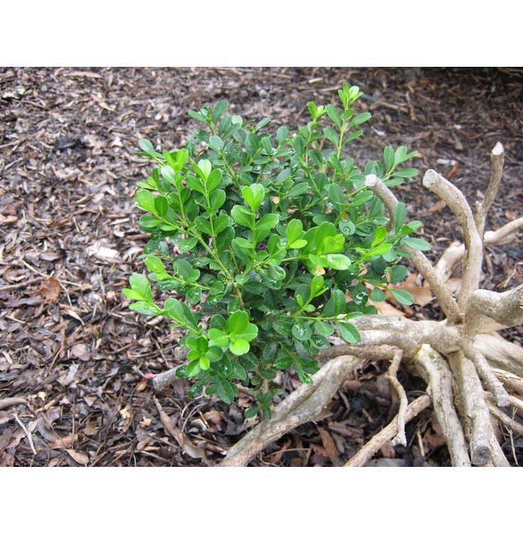 Buxus microphylla 'Sunnyside'