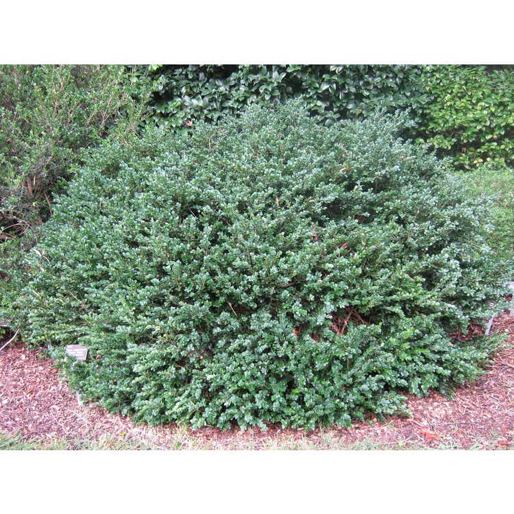 Buxus sempervirens 'Vardar Valley'