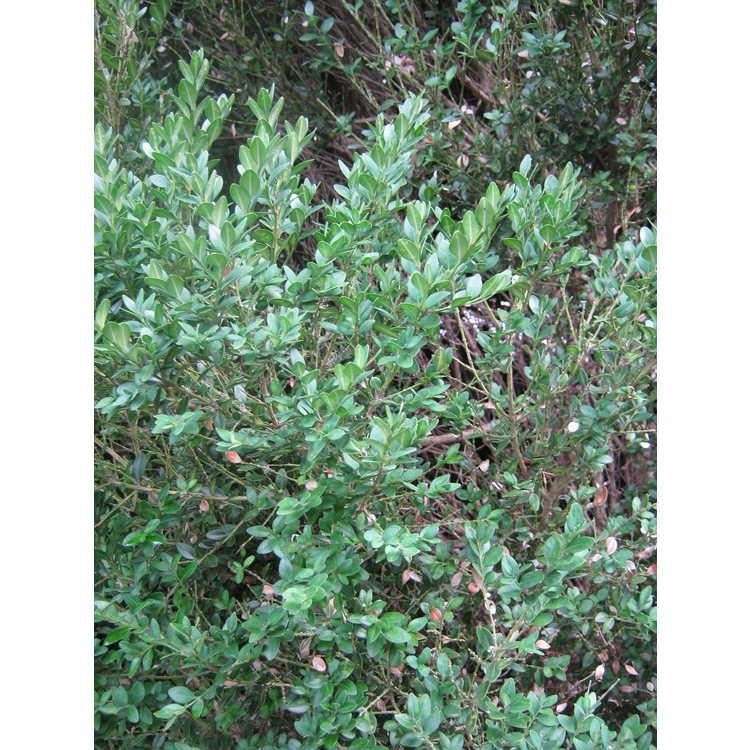 Buxus 'Green Mountain'