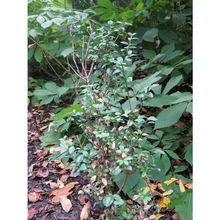 Buxus sempervirens 'Decussata'