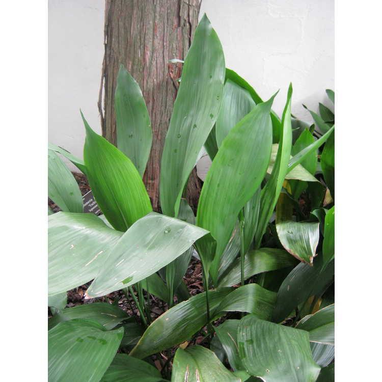 Aspidistra elatior 'Akebono' - gold-stripe cast-iron plant