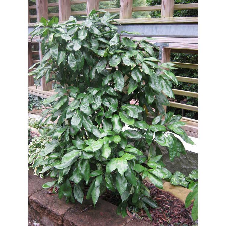 Aucuba japonica 'Tatsumaki'