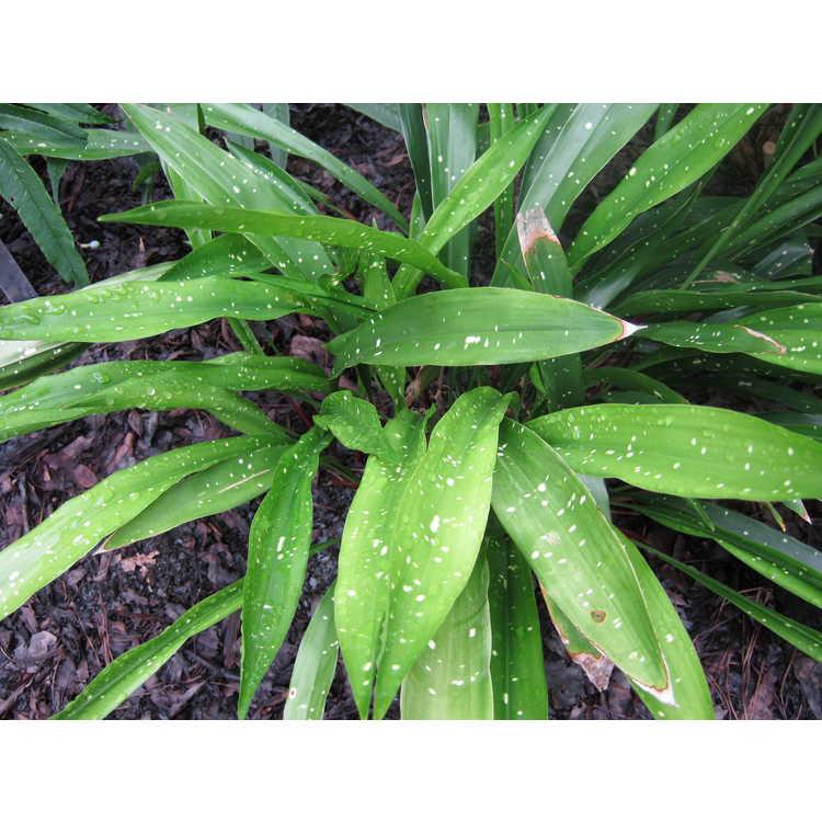 Aspidistra oblanceifolia 'Nagoya Stars'