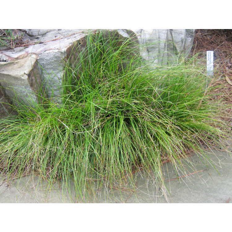 Carex socialis 'Coahoma'