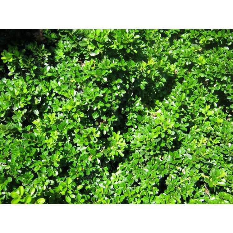 Buxus microphylla var. japonica 'Morris Dwarf'