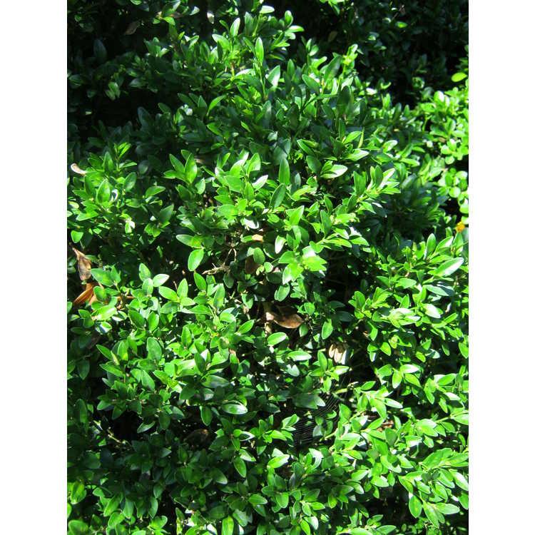 Buxus sinica var. insularis 'Justin Brouwers' - Korean boxwood