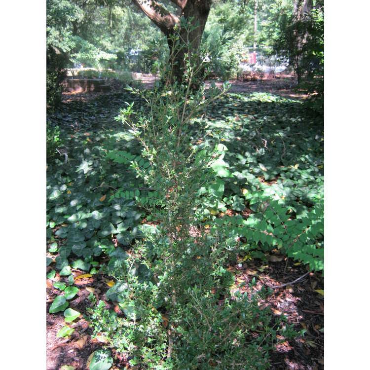 Buxus sempervirens 'Aristocrat'
