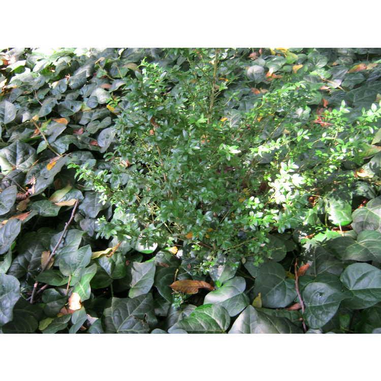 Buxus sempervirens 'Edgar Anderson'