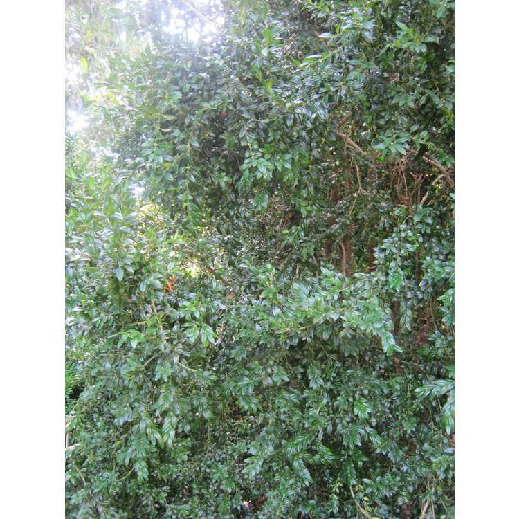 Buxus sempervirens 'Myosotidifolia'