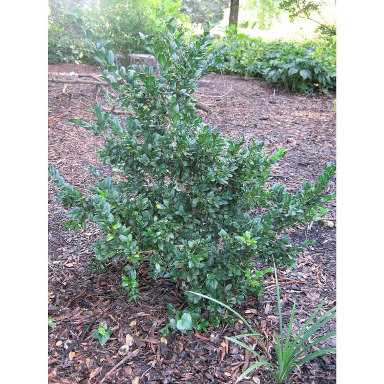 Buxus sempervirens 'Ponteyi'