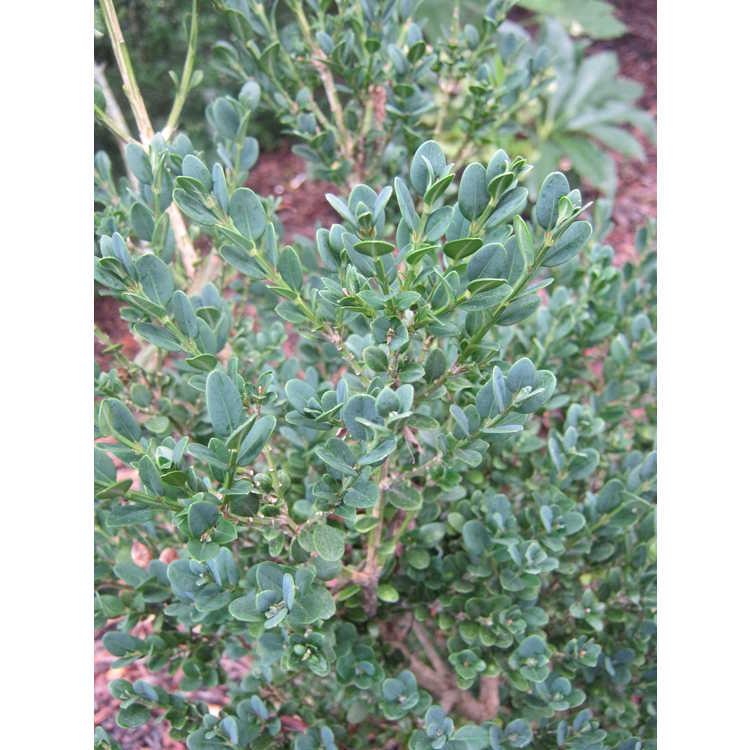 Buxus microphylla 'John Baldwin'