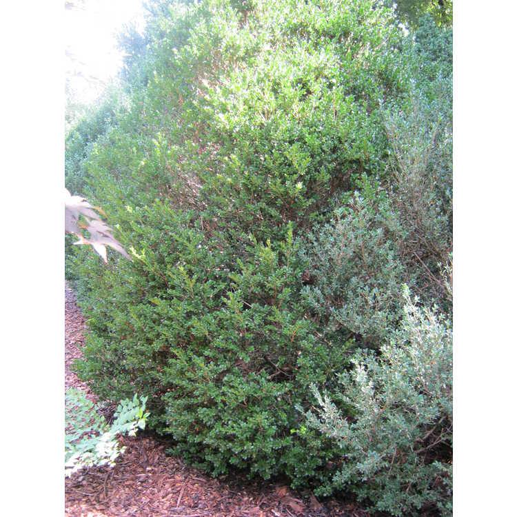 Buxus microphylla 'Jim's Tru Spreader'