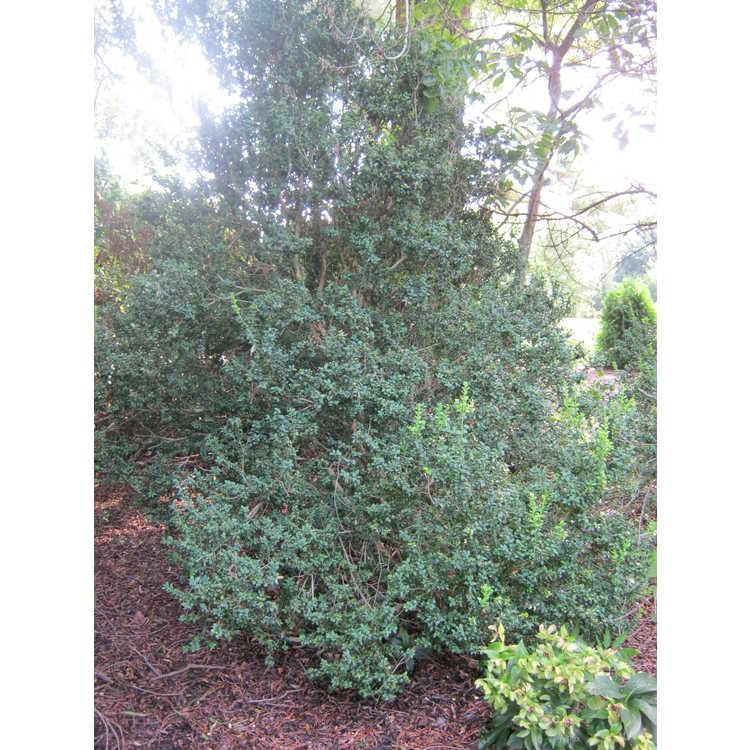 Buxus sempervirens 'Inglis' - common boxwood