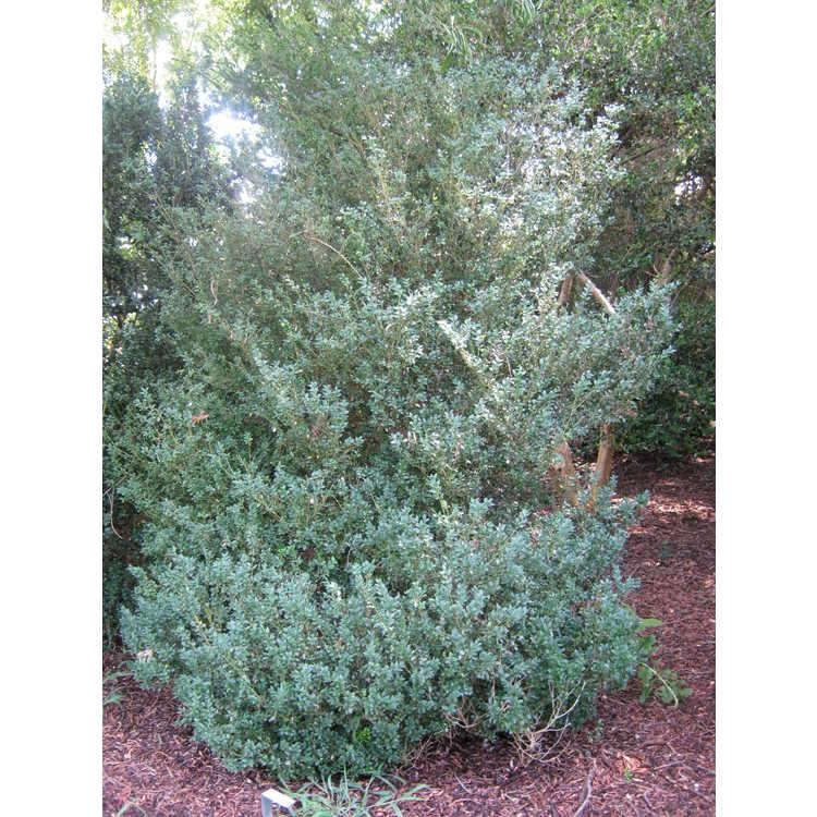 Buxus sempervirens 'Belleville' - common boxwood