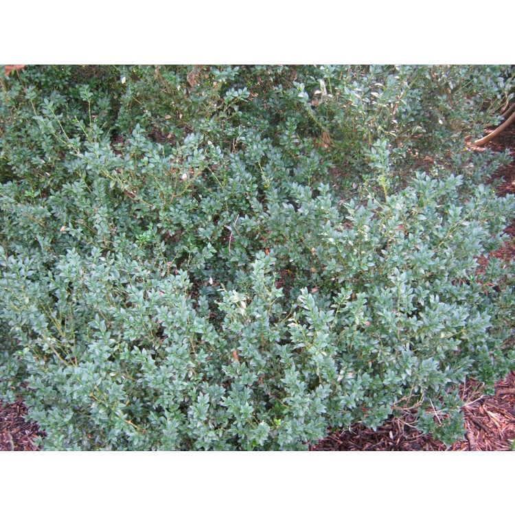 Buxus sempervirens 'Belleville'