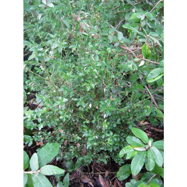 Buxus sempervirens 'Agram'