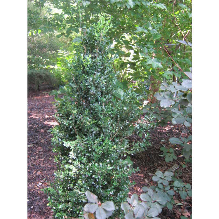 Buxus sempervirens 'Northland'